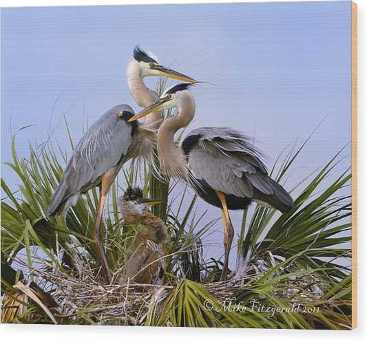 Great Blue Heron Family Wood Print