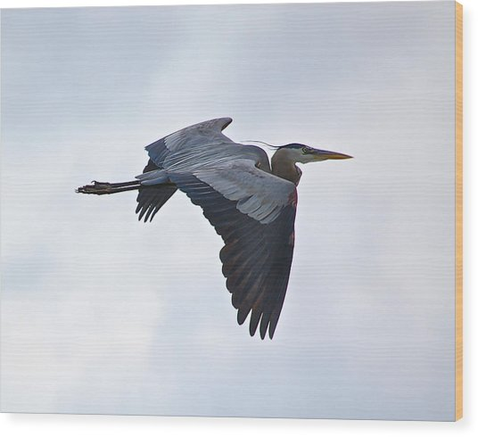 Great Blue Heron In Cloudy Sky Wood Print