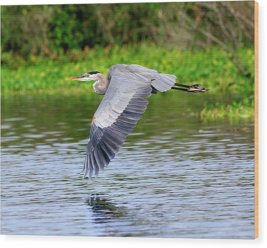 Great Blue Heron Inflight Wood Print