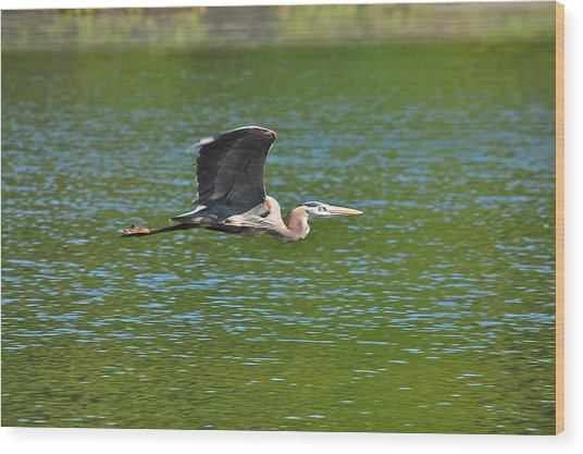 Great Blue Heron Reaching Cruise Altitude Wood Print