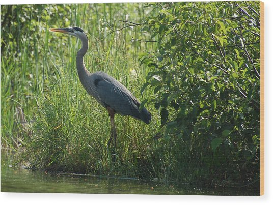 Great Blue Heron Waiting To Eat Wood Print
