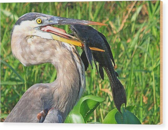 Great Blue Heron With Catfish Wood Print