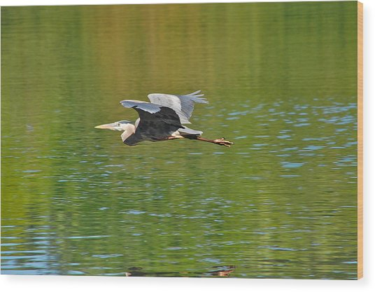 Great Blue Heron With Confidence Wood Print