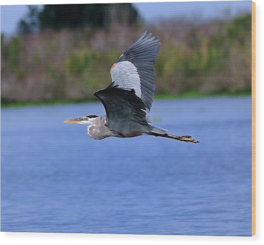 Great Blue Inflight Wood Print