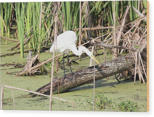 Great Egret Hunting Wood Print by Suzie Banks
