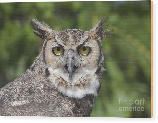 Great Horned Owl Wood Print by Keith Kapple