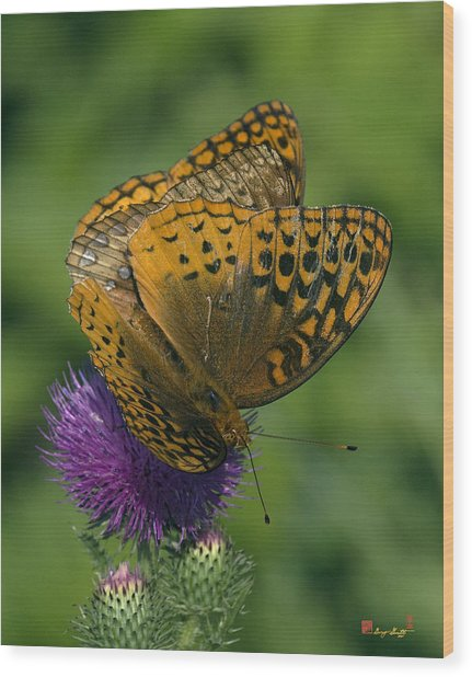 Great Spangled Fritillaries On Thistle Din108 Wood Print