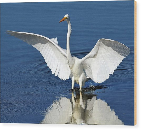 Great White Egret Spreading Its Wings Wood Print
