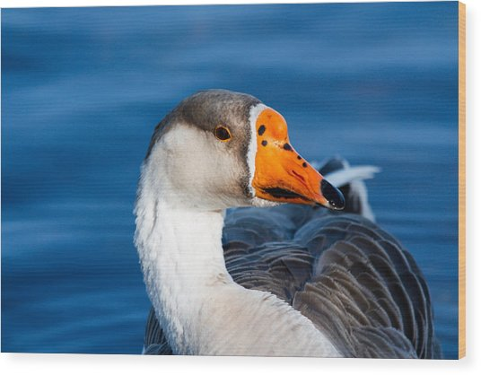 Greater White Frontal-goose Striking A Pose Wood Print