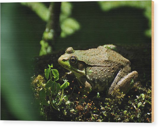 Green Frog Rana Clamitans Wood Print