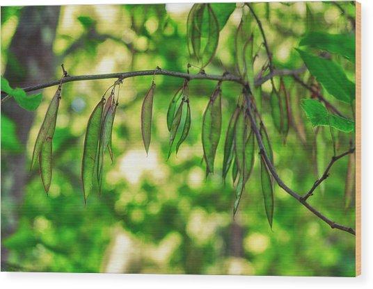 Green Redbud Seed Pods Wood Print
