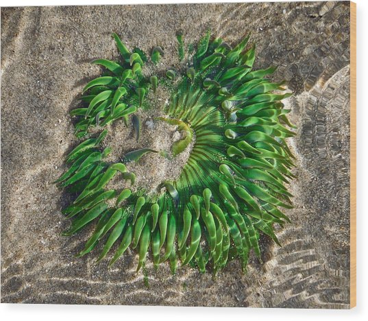 Green Sea Anemone Wood Print