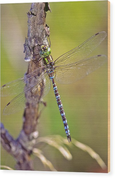 Green-striped Darner Dragonfly Wood Print