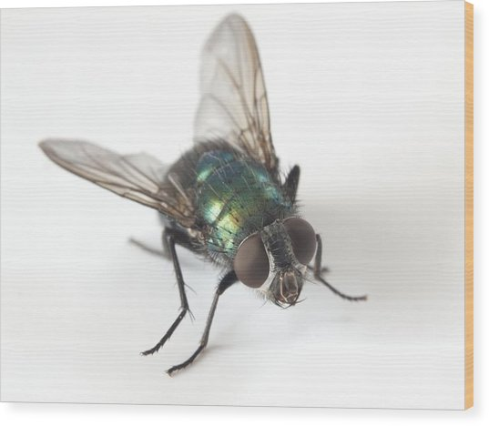 Greenbottle Fly Wood Print by Dr Jeremy Burgess