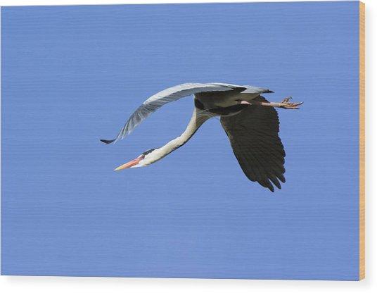 Grey Heron Flying Wood Print by Duncan Shaw