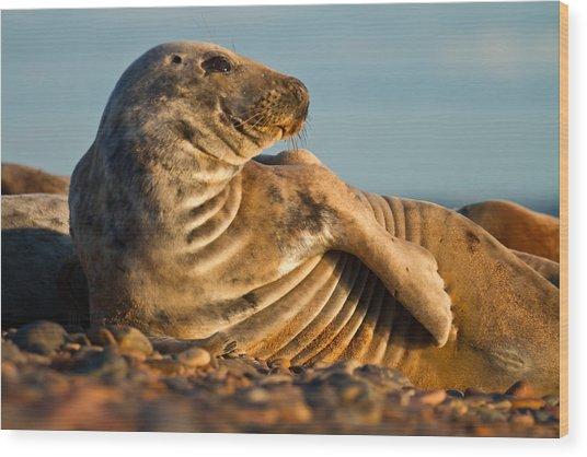 Grey Seal Halichoerus Grypus Watching Wood Print