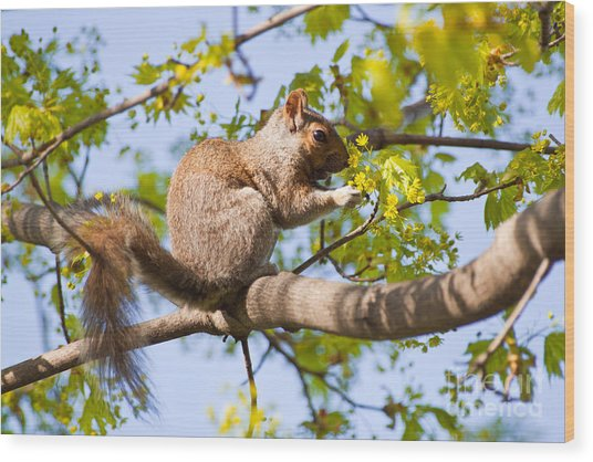 Grey Squirrel Feedingtime Wood Print