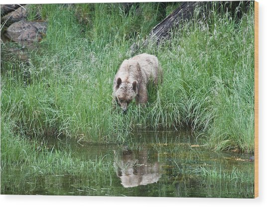 Grizzly Bear And Reflection On Prince Rupert Island Canada 2209 Wood Print