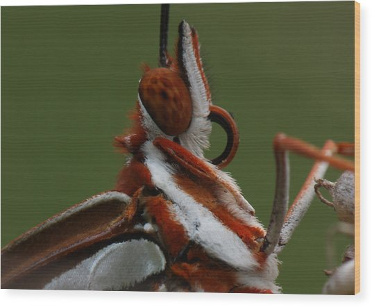 Wood Print featuring the photograph Gulf Fritillary Butterfly Portrait by Daniel Reed