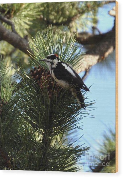 Hairy Woodpecker On Pine Cone Wood Print