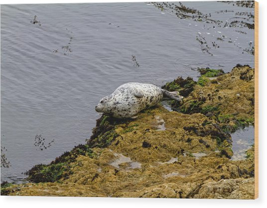 Harbor Seal Taking A Nap Wood Print