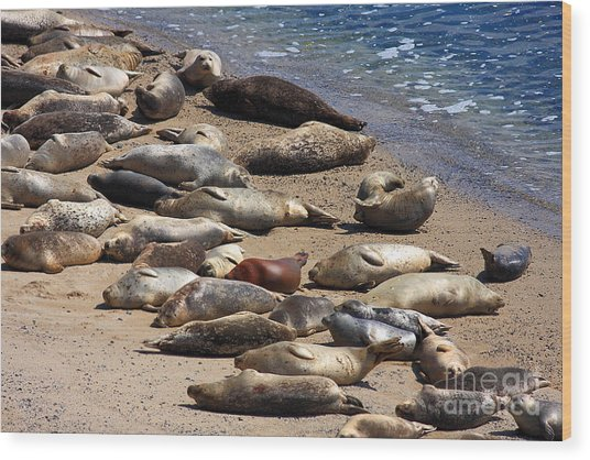 Harbor Seals Sunbathing On The Beach . 40d7553 Wood Print by Wingsdomain Art and Photography