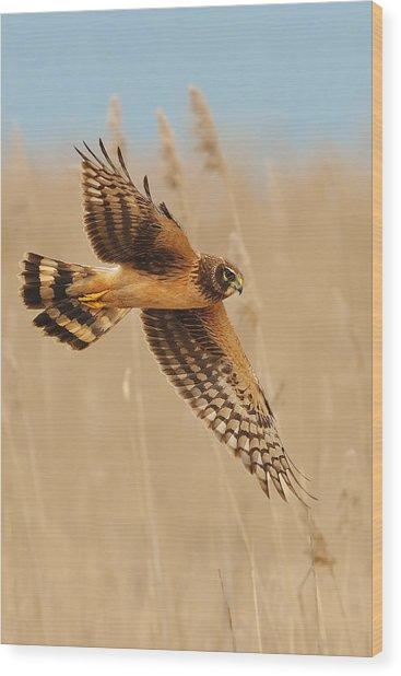 Harrier Over Golden Grass Wood Print