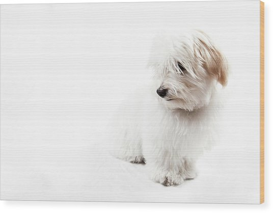 Havanese Puppy Wood Print by Daniel Pupius