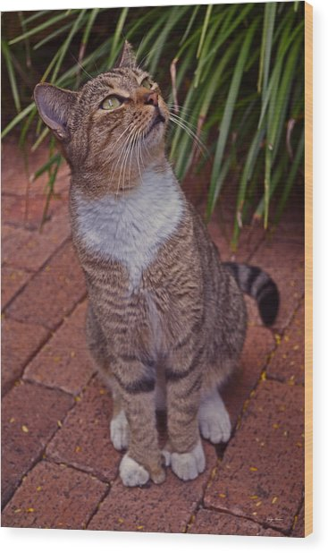 Hemingway House 6 Toed Cat 01 Wood Print