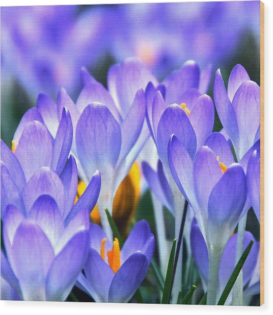 Here Come The Croci Wood Print