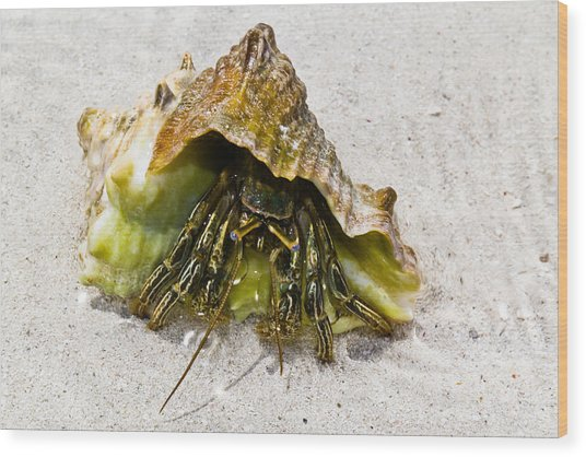 Hermit Crab Wood Print by Bill Rogers