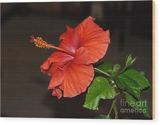 Hibiscus Bloom Wood Print