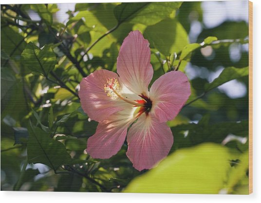 Hibiscus Rosa-sinensis Wood Print by Dr Keith Wheeler