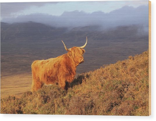 Highland Cattle Landscape Wood Print
