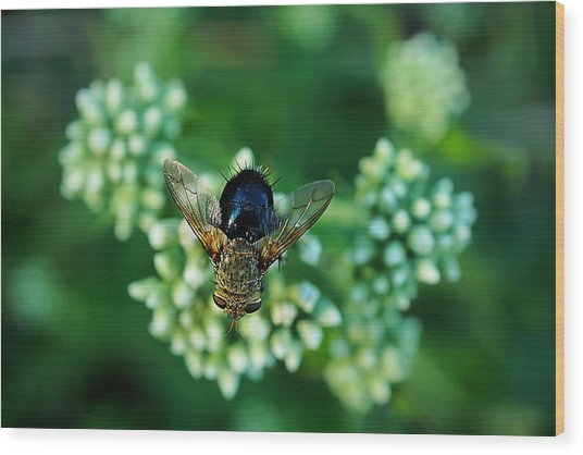 Horsefly No Bother Me Wood Print by Beth Akerman