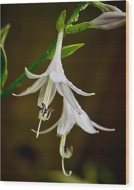 Hosta Bells Wood Print by Michael Putnam