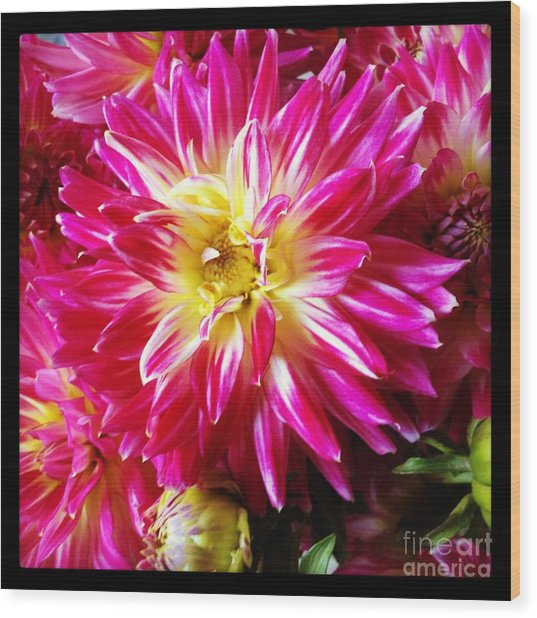 Hot Pink Dahlias Wood Print by Ruby Hummersmith
