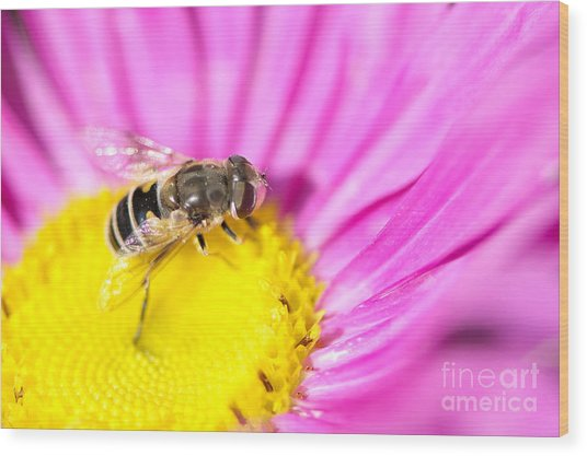 Hoverfly On Pink Aster Wood Print by Sharon Talson