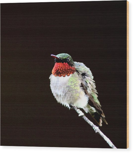 Hummingbird - Ruffled Feathers Wood Print