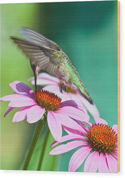 Hummingbird On Coneflower Wood Print