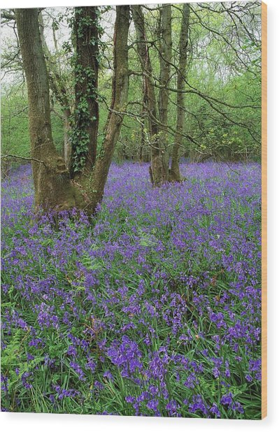 Hyacinthoides Nonscriptus. Wood Print by Bob Gibbons