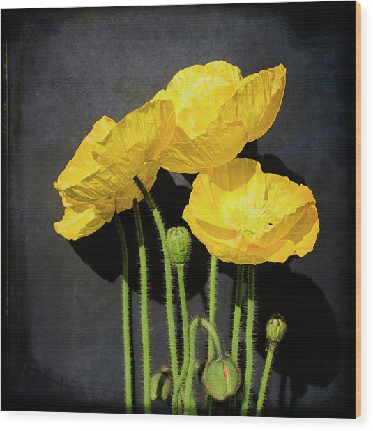 Iceland Yellow Poppies Wood Print by Paul Grand Image