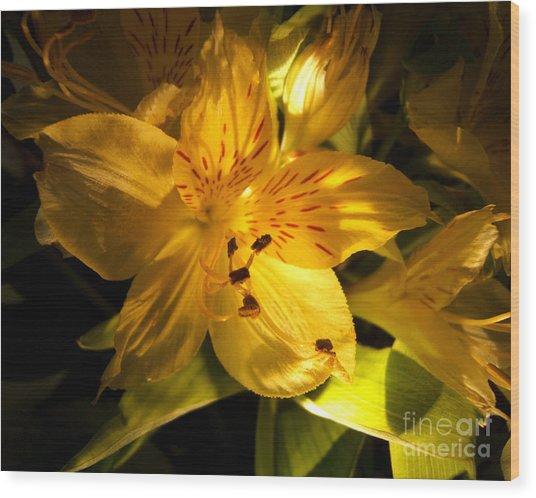 Illuminated Yellow Alstromeria Photograph Wood Print
