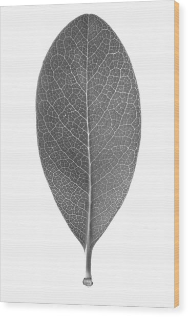 Indian Hawthorn Leaf Wood Print