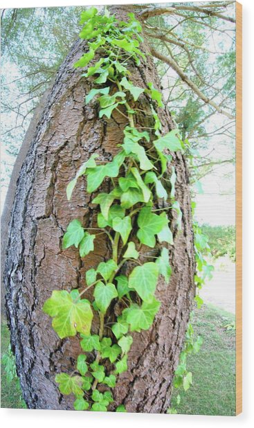 Ivy Tree Wood Print by Paula Deutz
