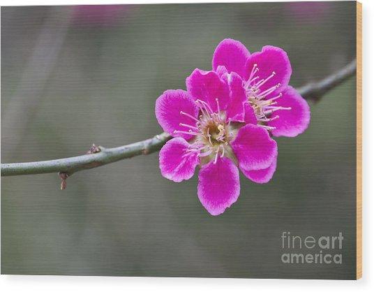 Japanese Flowering Apricot. Wood Print