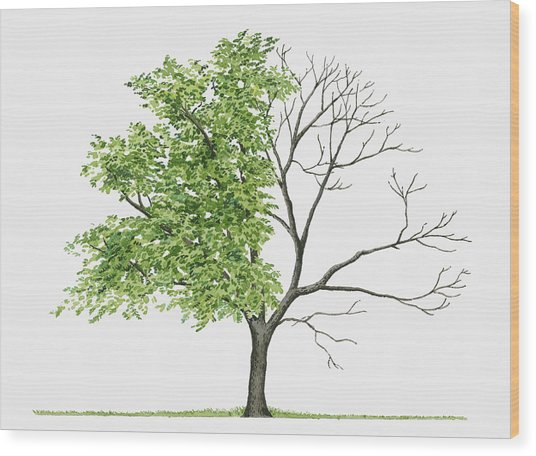 Juglans Cinerea (butternut): Illustration Showing Shape Of Deciduous Juglans Cinerea (butternut) Tree With Green Summer Foliage And Bare Winter Branches Wood Print by Liz Pepperell