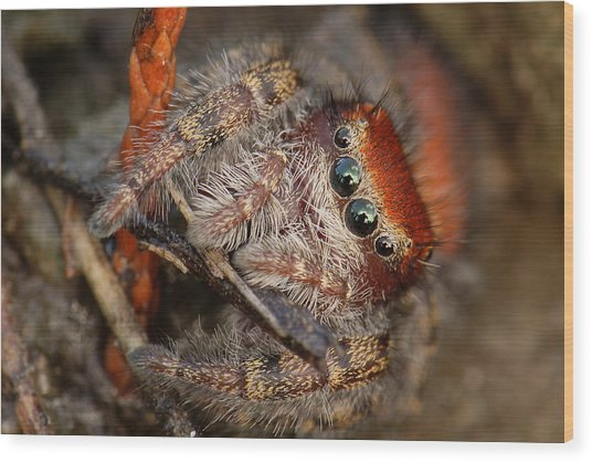 Jumping Spider Portrait Wood Print