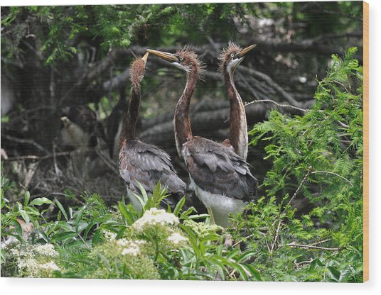 Juvenile Herons Wood Print by Ernst Schwarz