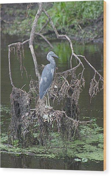 Juvenile Little Blue Heron Wood Print